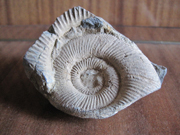 Ammonite from Sakya - souvenir from Tibet
